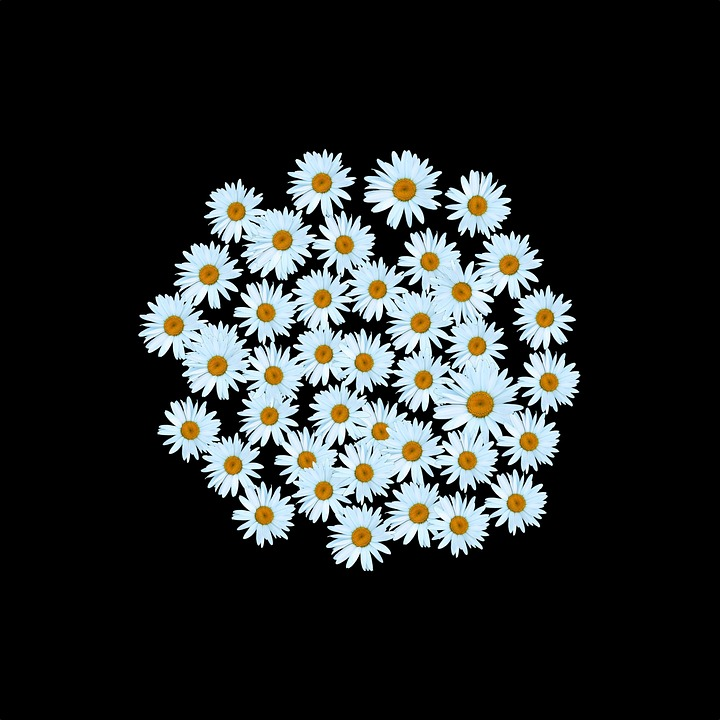 free photo daisy, white daisy, white, flower  free image on, Beautiful flower