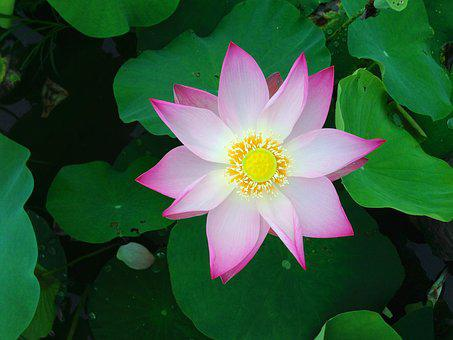 Lotus Flower Images Pixabay Download Free Pictures