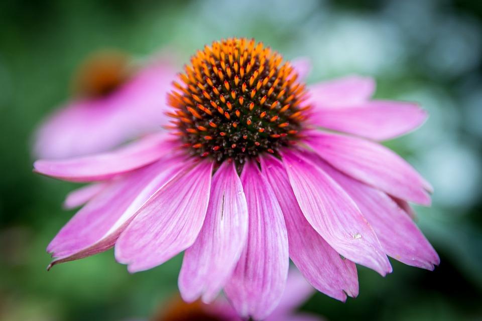 Echinacea Purpurea, Fleur, Fermer, Fleur Pourpre