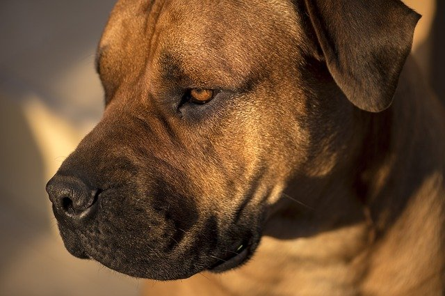 african boerboel bull mastiff  u00b7 free photo on pixabay