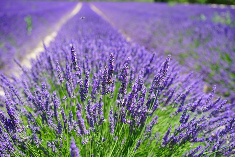 free photo lavender cultivation free image on pixabay 2138398. Black Bedroom Furniture Sets. Home Design Ideas