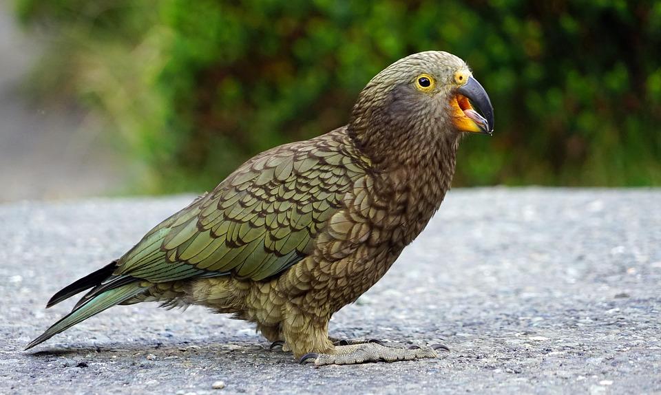 Kea, Mountain Parrot, Cheeky, New Zealand, Highlands