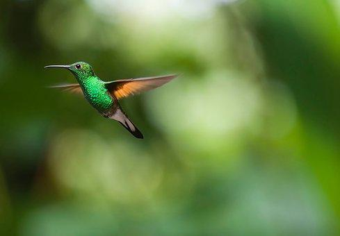 Hummingbird, Bird, Trochilidae, Flying