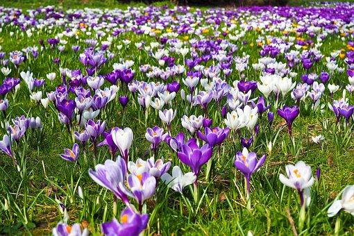 Endlich Frühling - Krokuswiese
