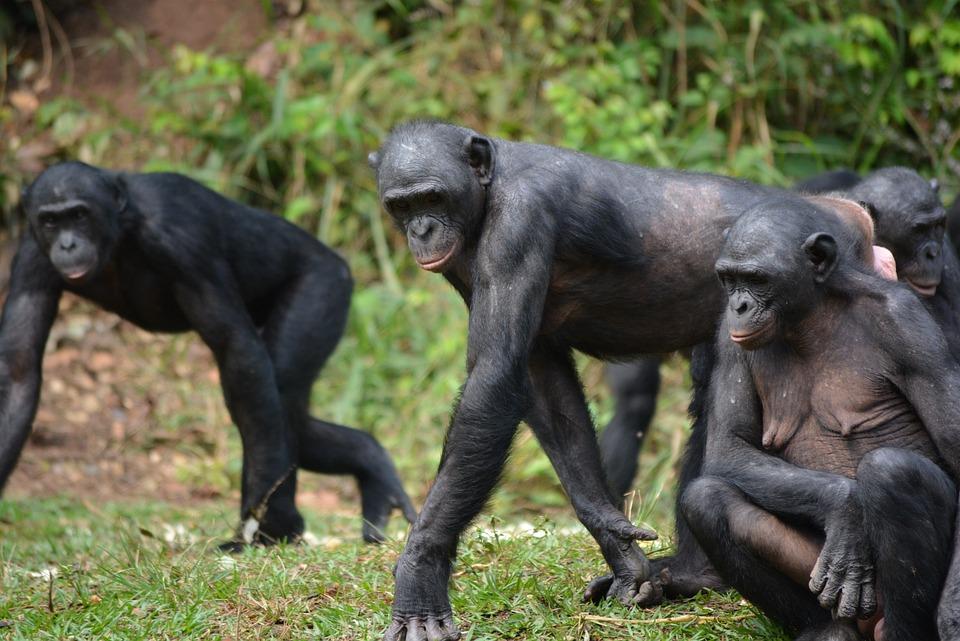 Bonobo, Primate, Mono, Lola Ya Bonobo, Congo, Kinshasa