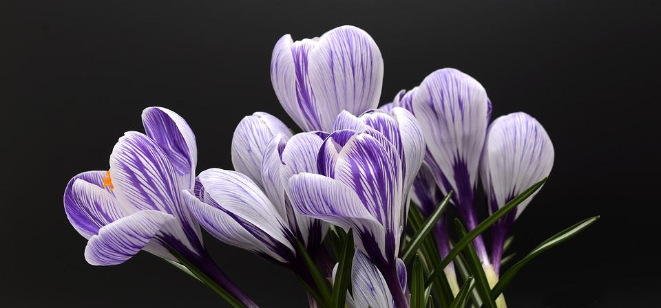 Purple flowers images pixabay download free pictures crocus flower spring nature mightylinksfo
