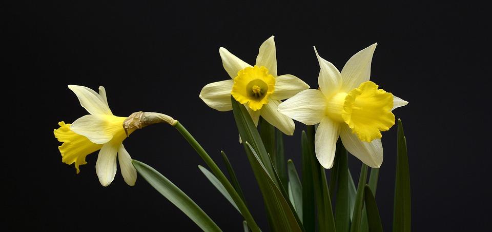 Jonquilles, Fleurs, Jaune, Printemps