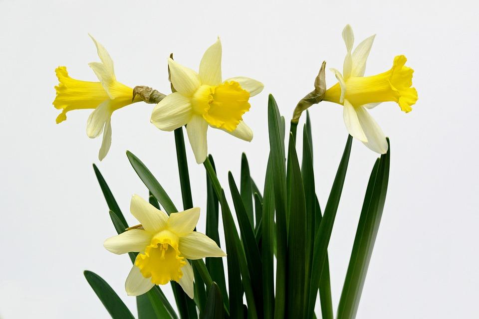 Jonquilles, Fleurs, Jaune, Printemps, Jonquille