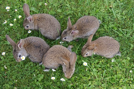 Rabbits Grass Fur Rabbits Eating Grass Rab