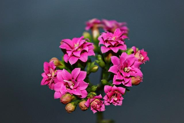 カランコエの花言葉・カランコエの色別種類別の花言葉