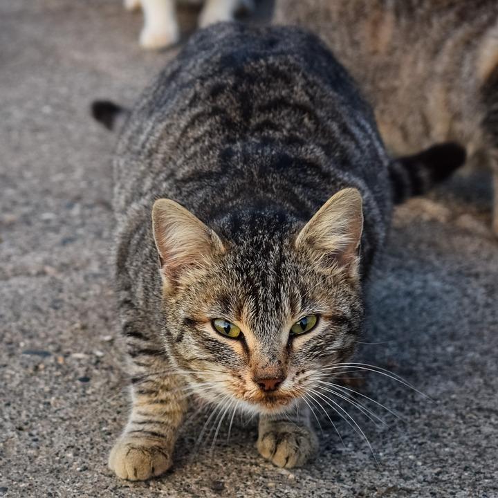 Cat, Feral, Street, Homeless, Animal, Kitten, Stray