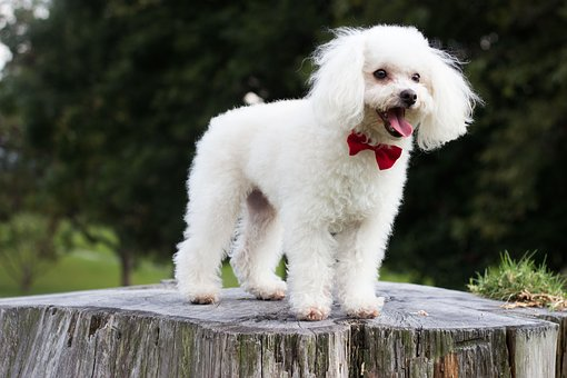 Miniature Poodle Puppies For Sale in West Virginia