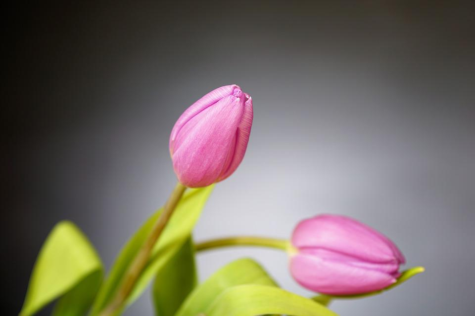tulip, bouquet  free images on pixabay, Beautiful flower
