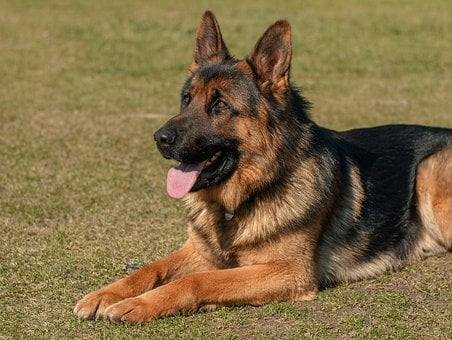 Dog, Animal, Pets, German Shepherd, Eb