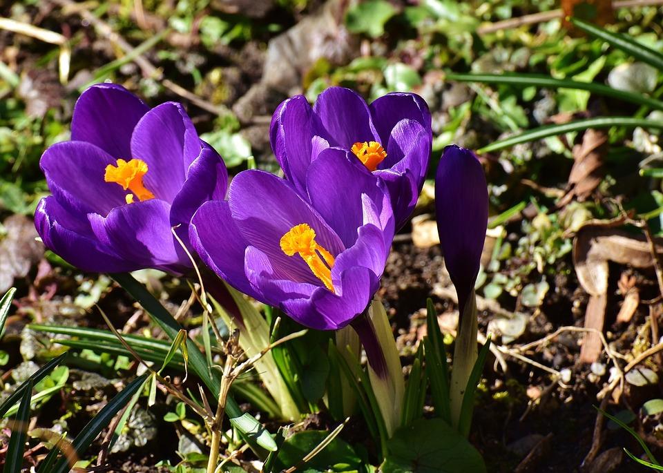 Krokus, Blomma, Våren, Växt, Lila, Garden
