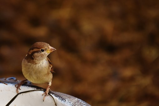 Sparrow, Bird, Birdie, Cute, Nature