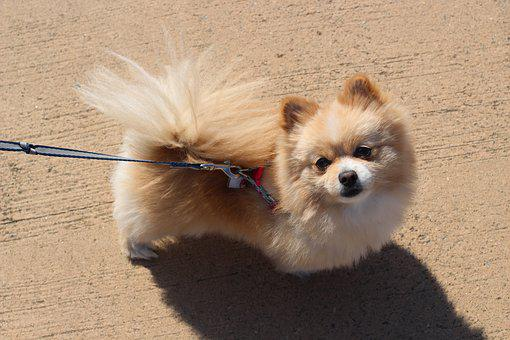 Puppy, Pomeranian, Pet Dogs, Ppome