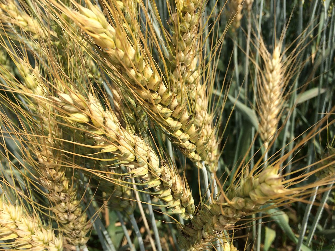 смерти являлась фото зерен пшеницы покупать, плюсы минусы