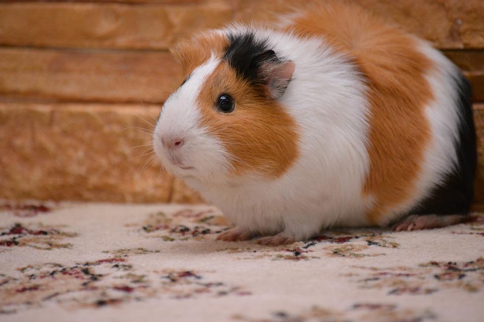 free photo  piggy  guinea pig  pet  animals