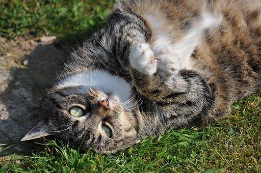 Katze, Katze Liegend, Haustier