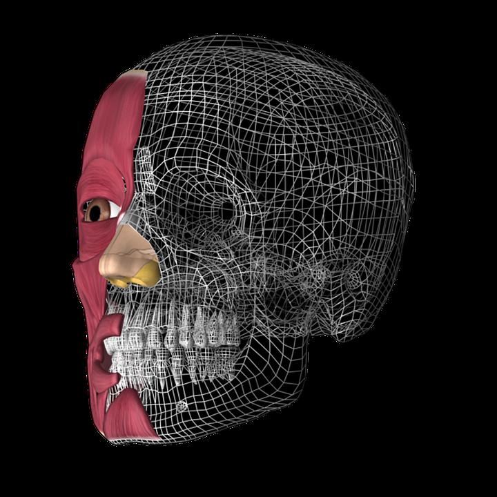 Skull 3D Anatomy · Free image on Pixabay