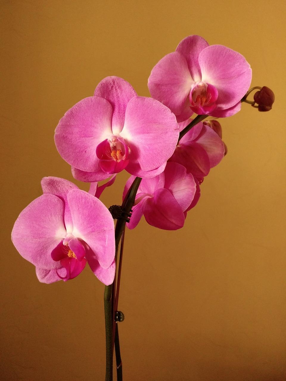 Орхидея розовая картинки