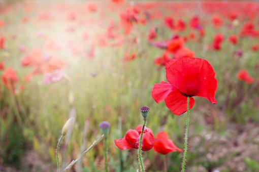 Poppies, Red, Flowers, Blooms, Spring