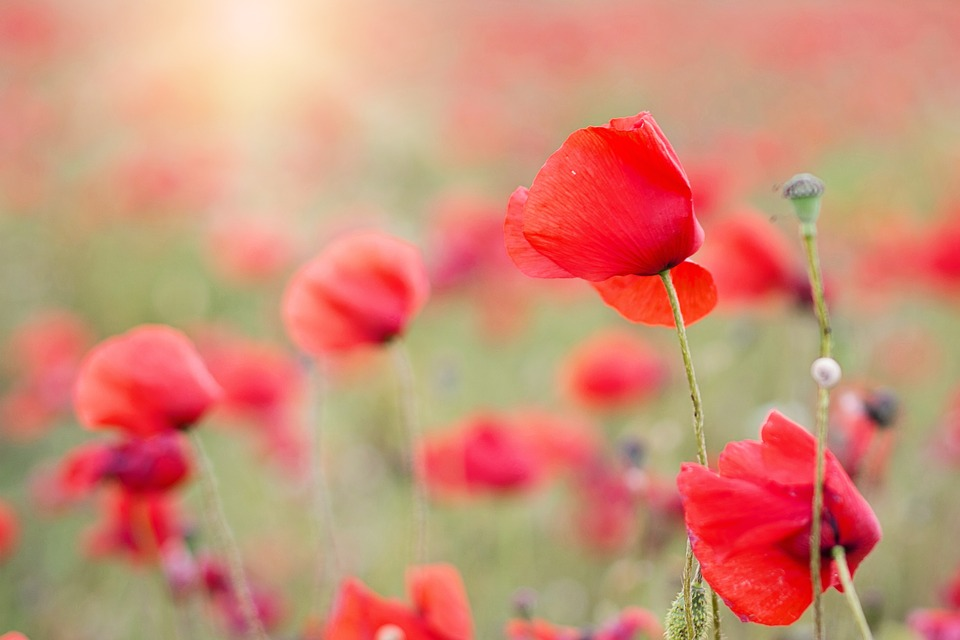 Poppies Red Flowers Free Photo On Pixabay