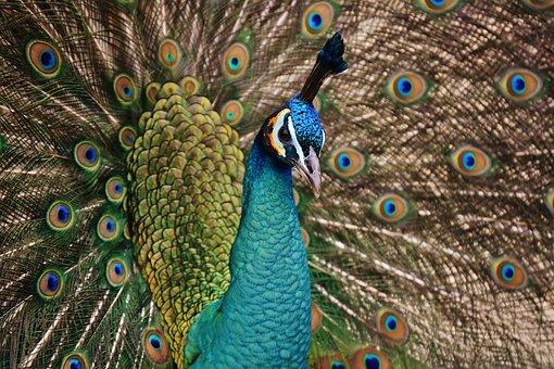 Peacock, Bird, Colorful, Animal, Feather