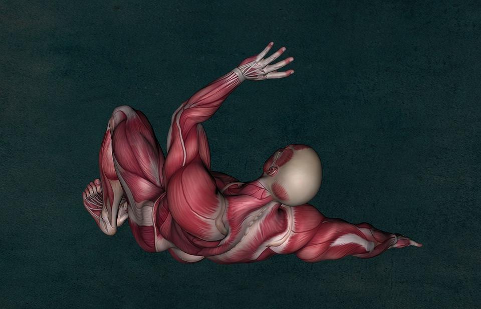 解剖学, 筋, 筋肉系, 筋肉の解剖学, ボディービル, 筋肉, 医療, 筋肉組織, モデル, 大腿, 物理