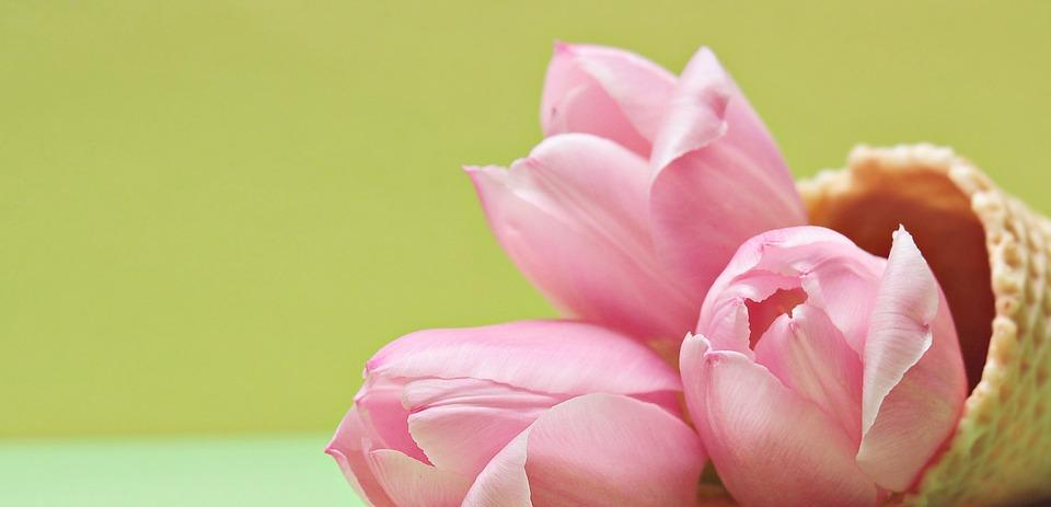 free photo tulips, tulip flower, flowers  free image on pixabay, Beautiful flower