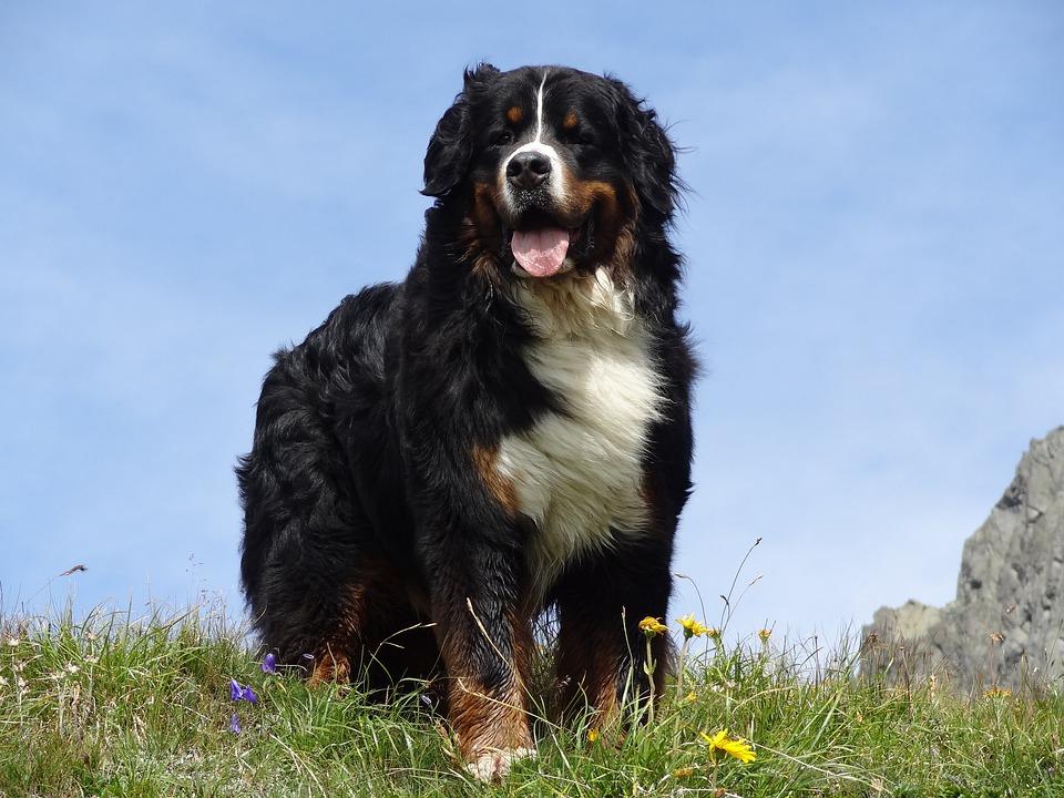 Bernese Mountain Dog Animal - Free photo on Pixabay
