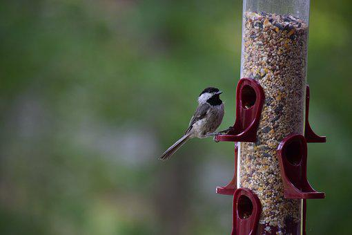 Bird, Chickadee, Bird Feeder, Eating