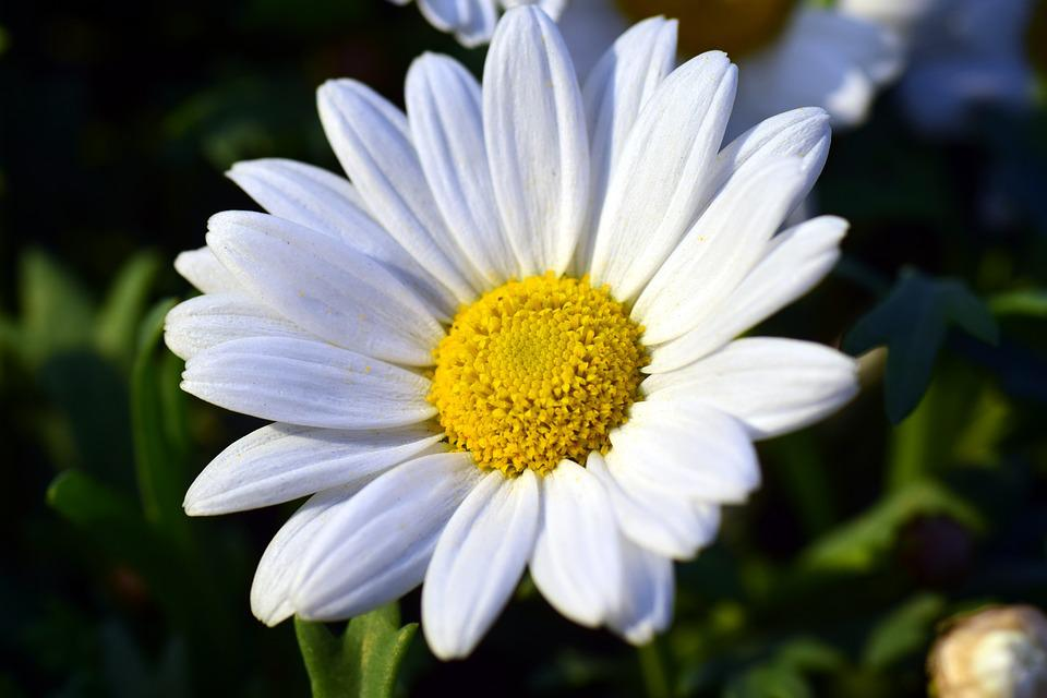 Free photo marguerite blossom bloom white free image - Image fleur marguerite ...