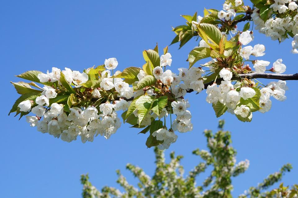 Kirschblüte Baum Frühling Blühende · Kostenloses Foto auf Pixabay
