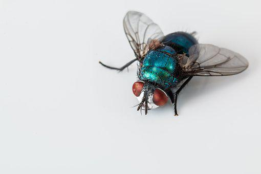 Blowfly, Blue Bottle Fly, Insect, Pest