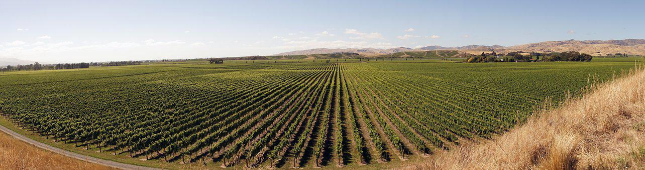 Winegrowing, Vines, Agriculture