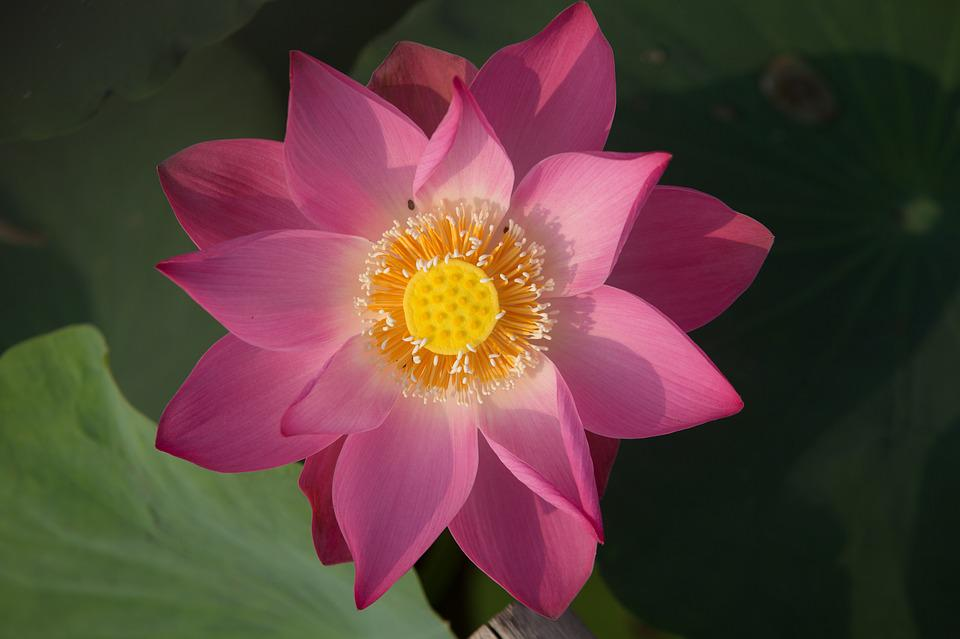 free photo lotus, flower, nature, water, plant  free image on, Beautiful flower