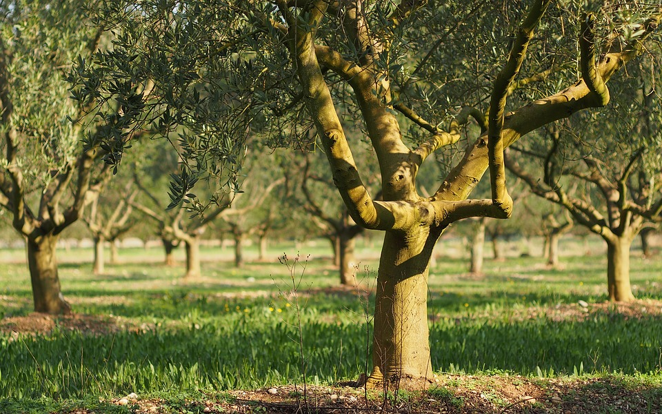 Fields, Olivier, Provence, Olives, Close Up