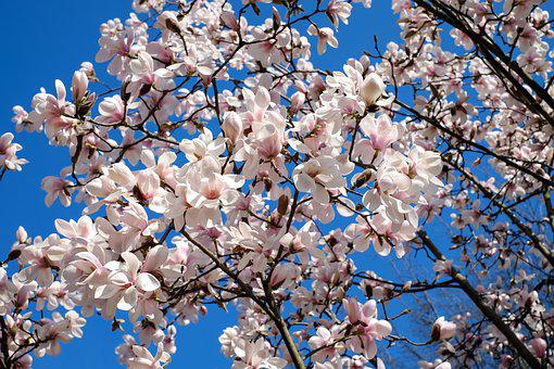 Magnolia Tulipán, Árbol, Bush, Magnolia