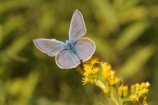 Común Azul, Mariposa, Insectos