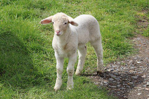 lamb images pixabay download free pictures