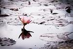 lotus, nature, pond