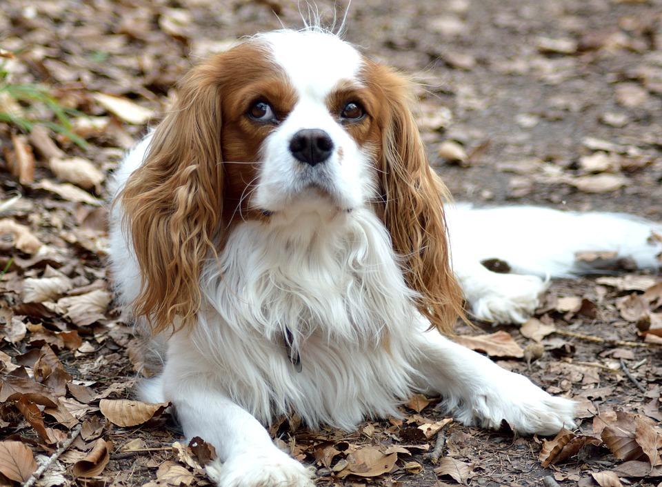 Dog Small Purebred 183 Free Photo On Pixabay