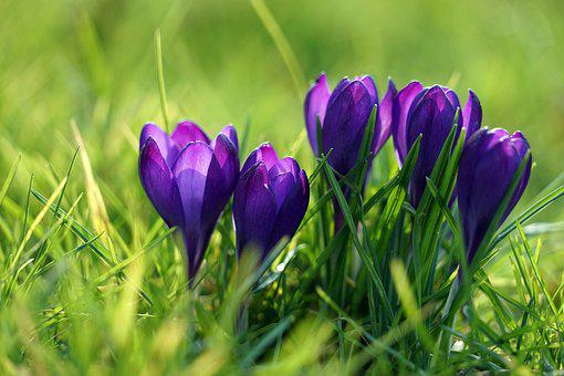 Crocus, Pourpre, Printemps