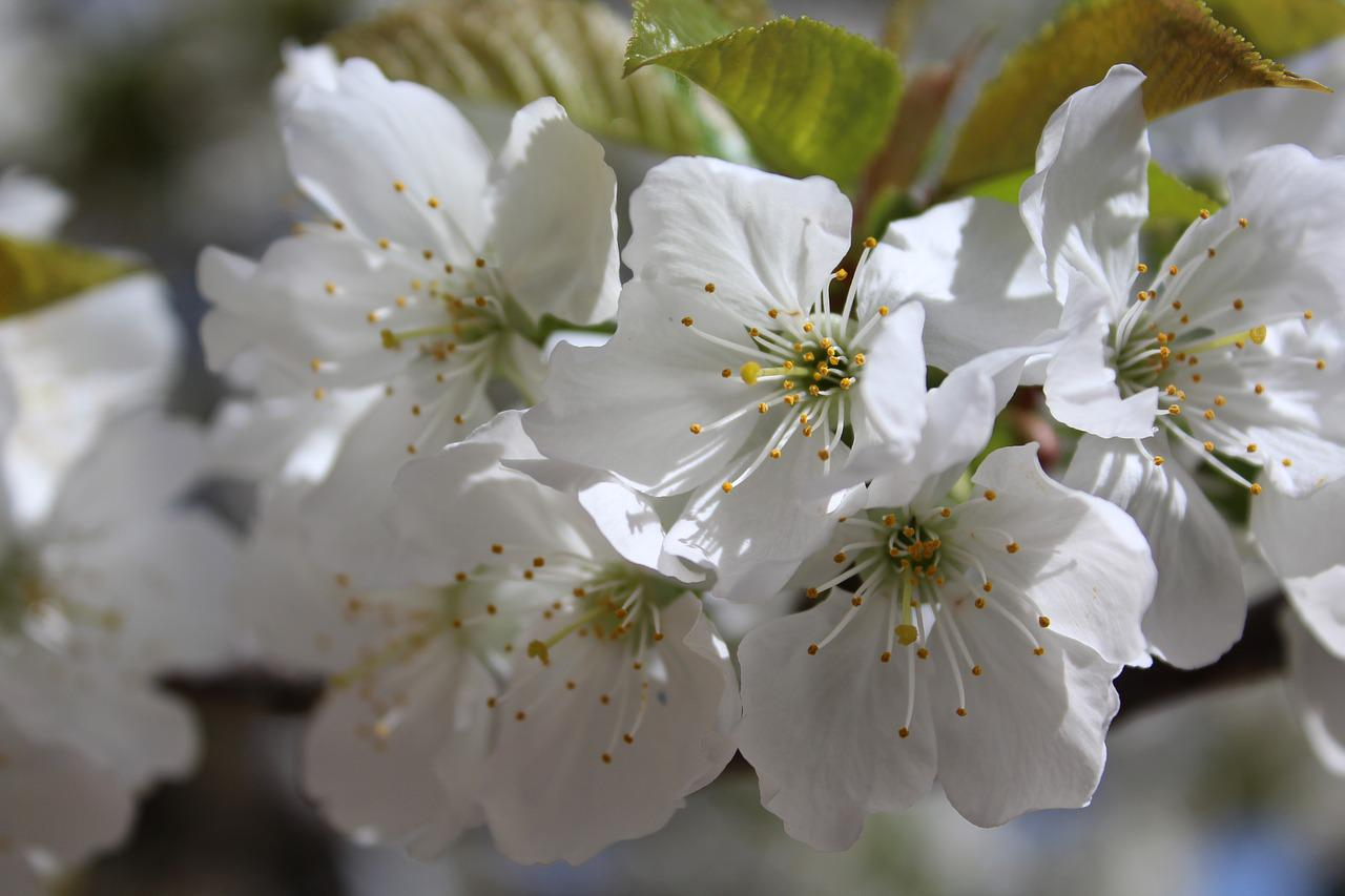 первую фото цветущих веток вишни клиентов приобретают