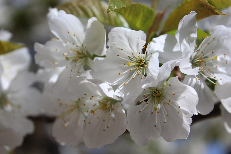 Fleur, Printemps, Cerisier, Blanc, Branche Fleurie