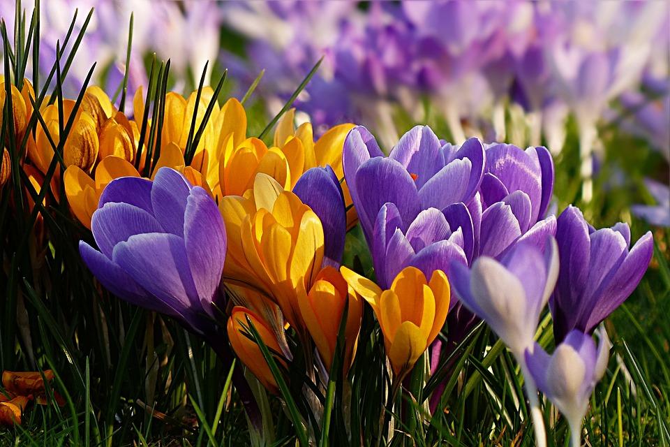 Blomma, Krokus, Crocus, Violett, Gul, Tidig Blunder