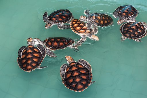 Turtle, Green Sea Turtles, Animals