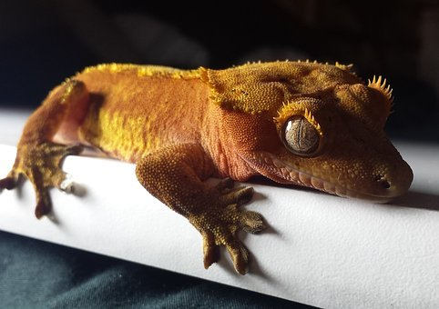 Gecko, Crested, Red, Orange, Lizard